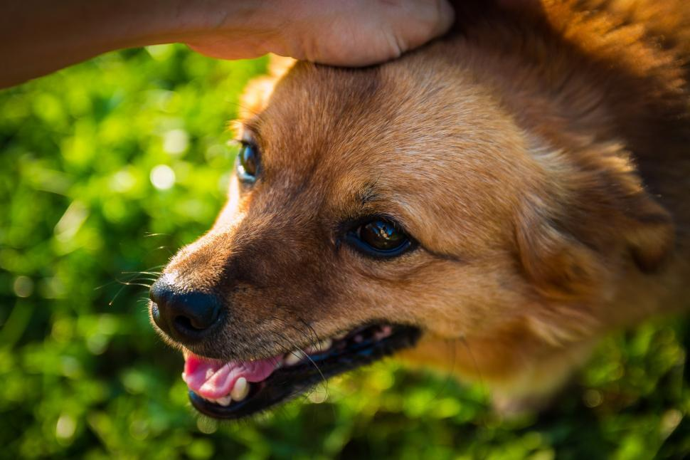 Download Free Stock Photo of dog canine animal domestic animal puppy chihuahua wild dog chow