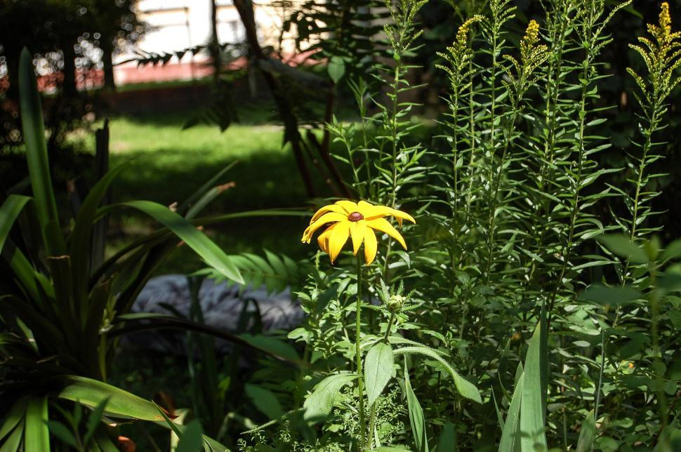 Download Free Stock Photo of flower plant herb sunflower spring flowers garden summer natural yellow leaves flora leaf season bloom floral