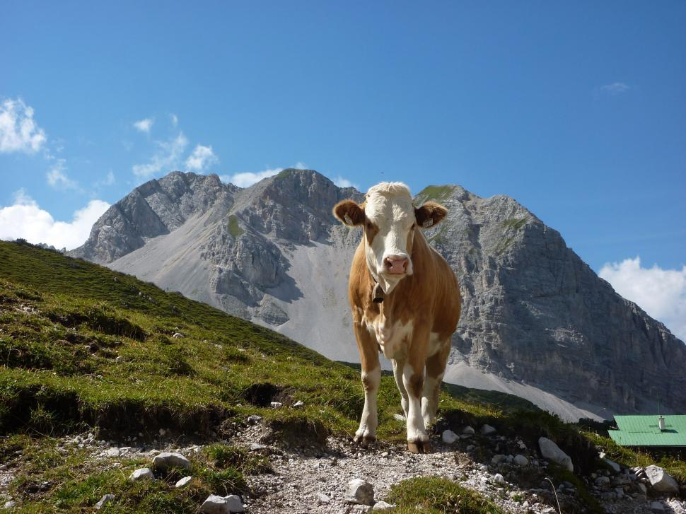 Download Free Stock Photo of Austrian alpine cow near mountain summit