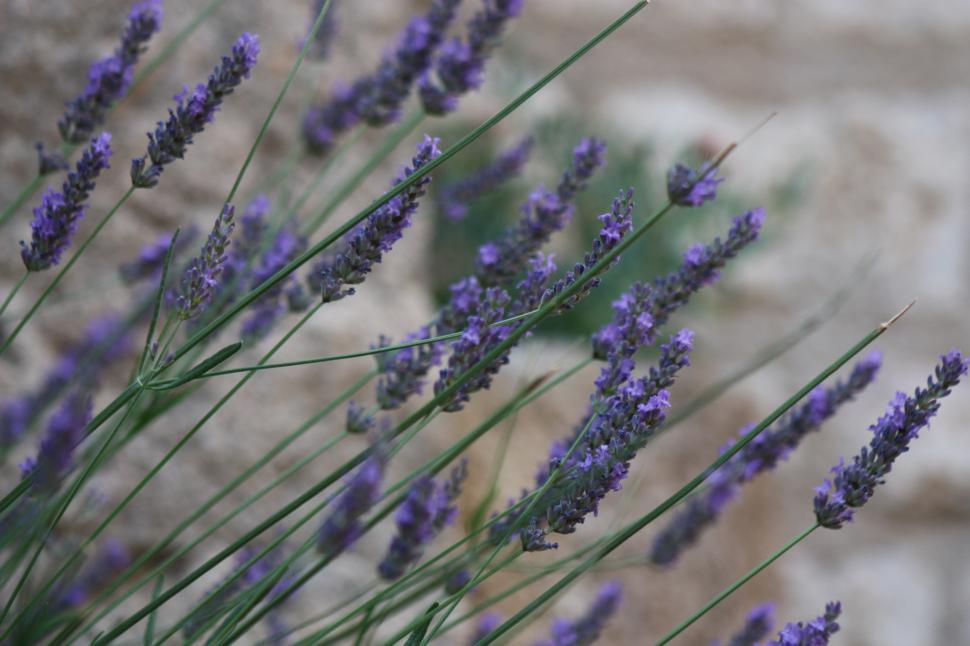 Download Free Stock Photo of Lavender