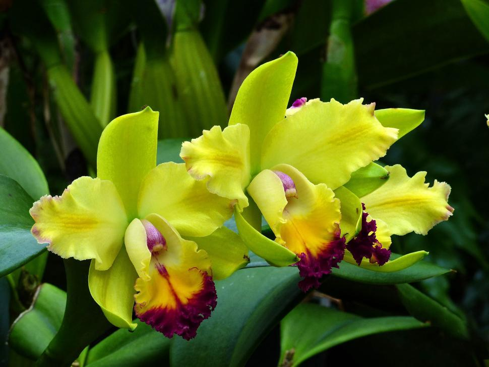 Download Free Stock Photo of Yellow Orchid Flowers
