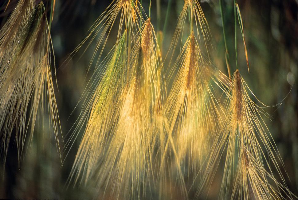 Download Free Stock Photo of Close-up of Foxtail Barley