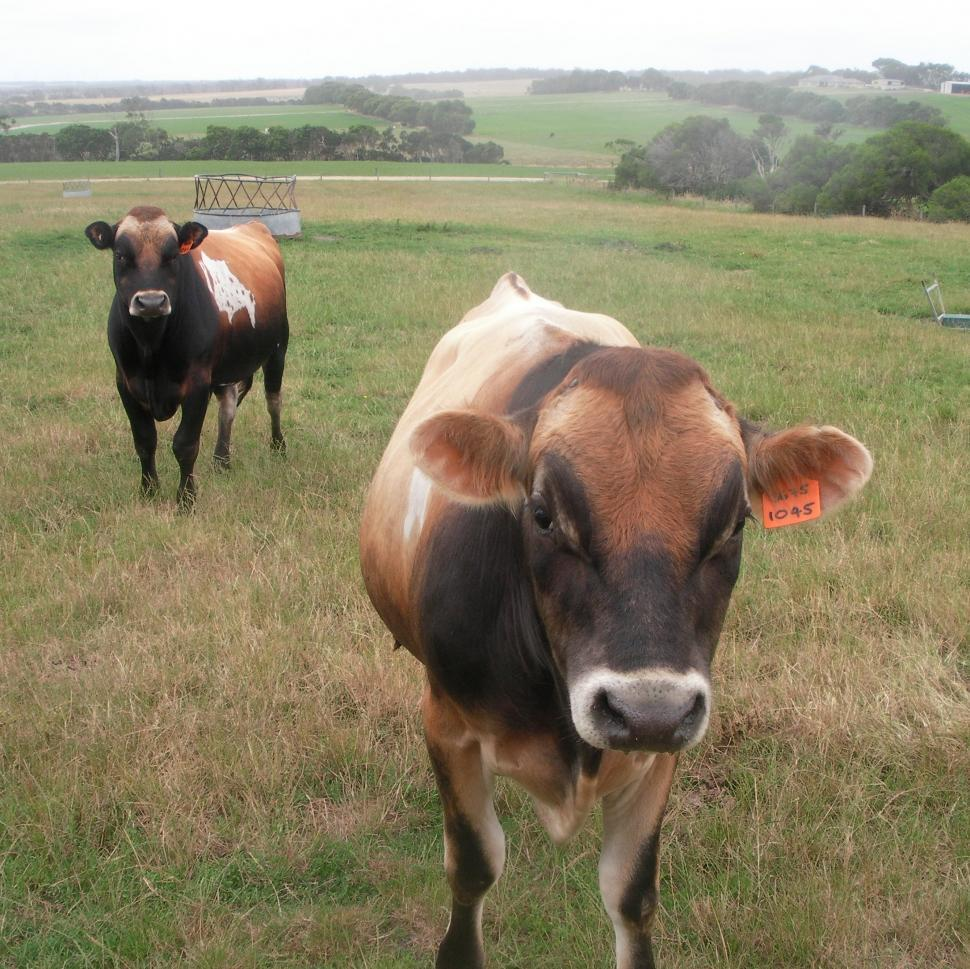 Download Free Stock HD Photo of Jersey Bulls  Online
