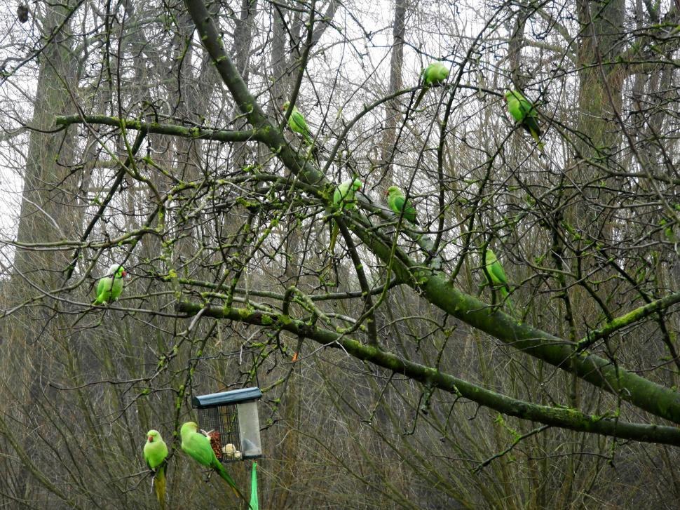 Download Free Stock HD Photo of Tree full of Rose-ringed parakeet  Online