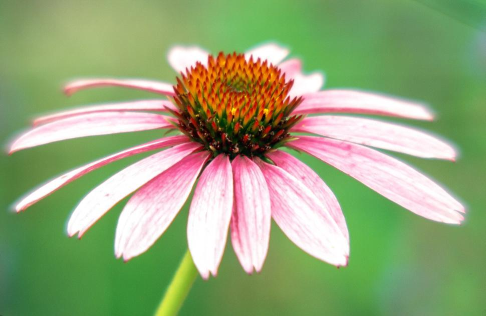 Download Free Stock HD Photo of Coneflower on green Online