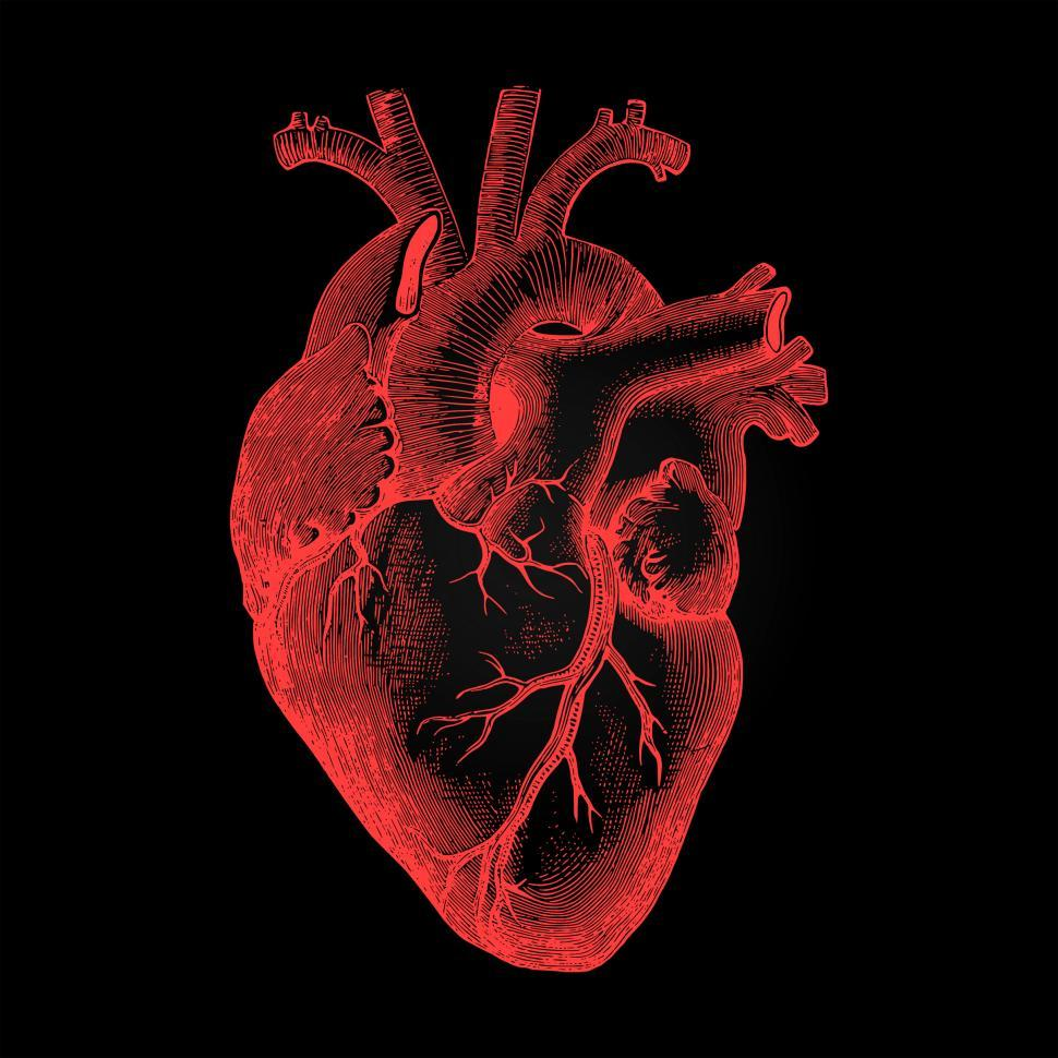Download Free Stock Photo of Human Heart - Anatomical Rendering on Dark Background