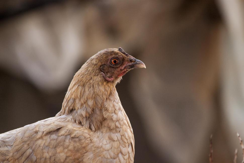 Download Free Stock HD Photo of A suspicious looking chicken Online