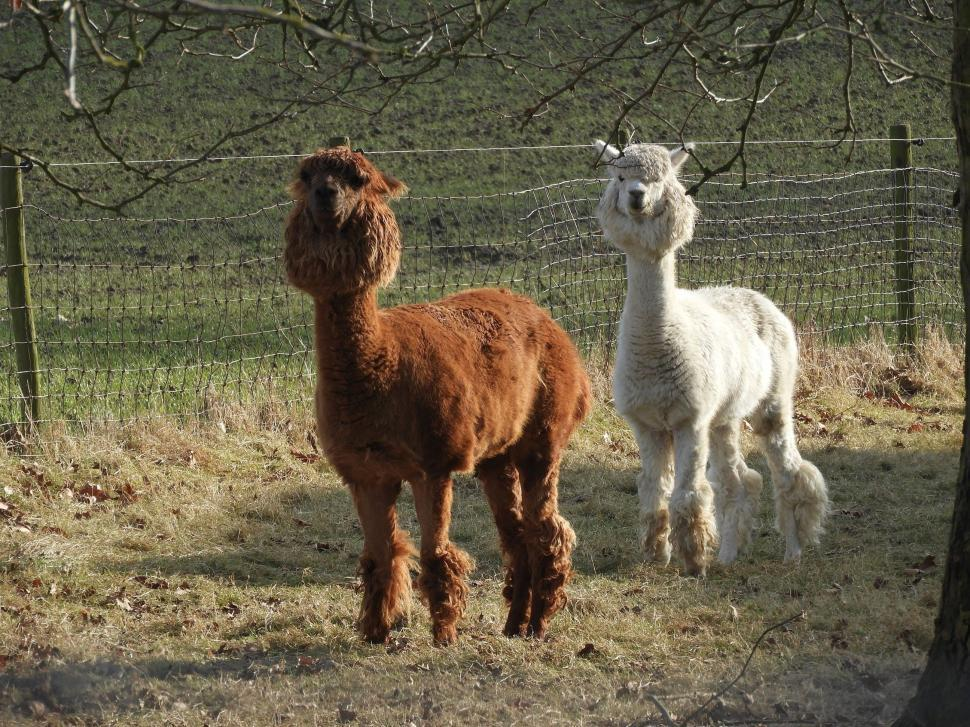 Download Free Stock Photo of Brown and white alpaca