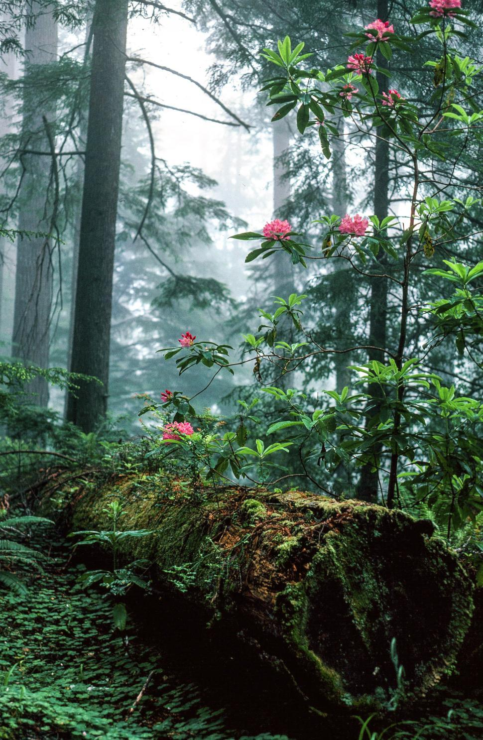 Download Free Stock HD Photo of Rhododendron flowers blooming at Redwood Grove Online