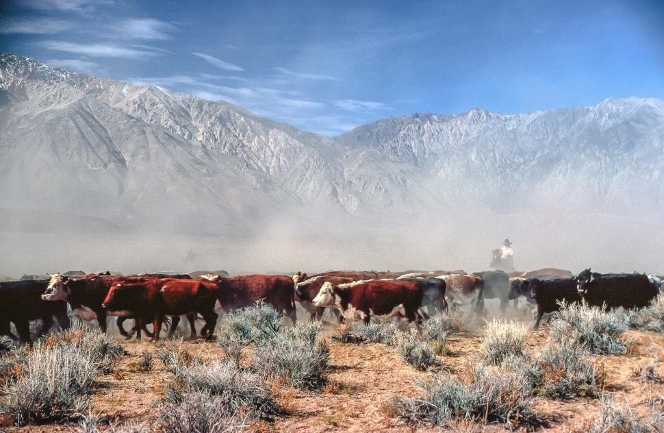 Download Free Stock Photo of Cattle drive