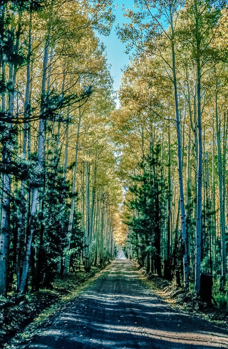 Download Free Stock Photo of Road though Aspen Forest