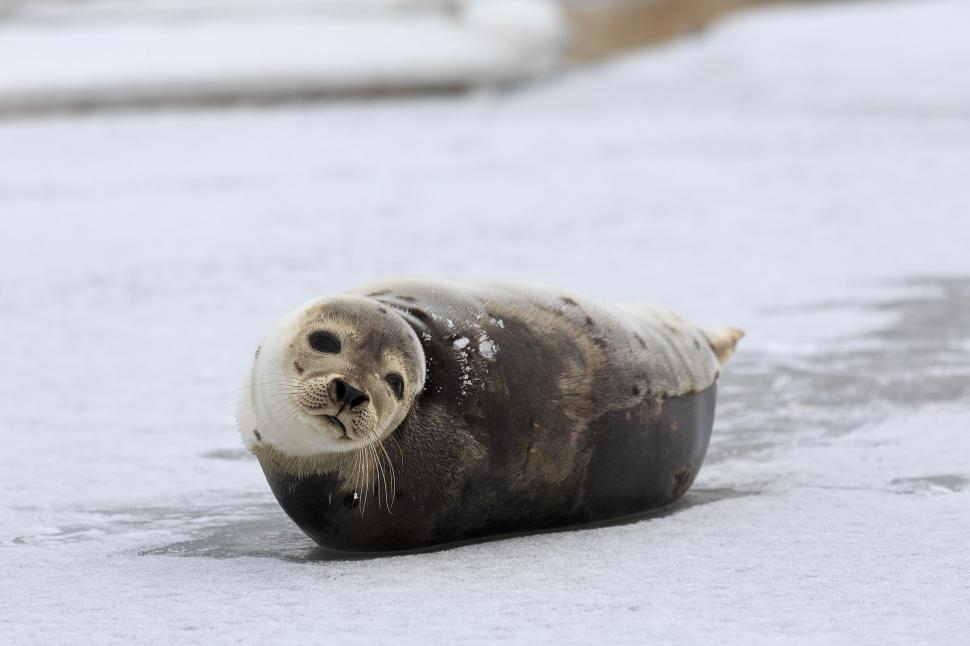 Download Free Stock Photo of Lovable Harp Seal