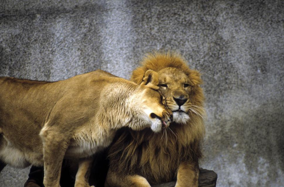 Download Free Stock Photo of Couple of Lion - Showing Affection