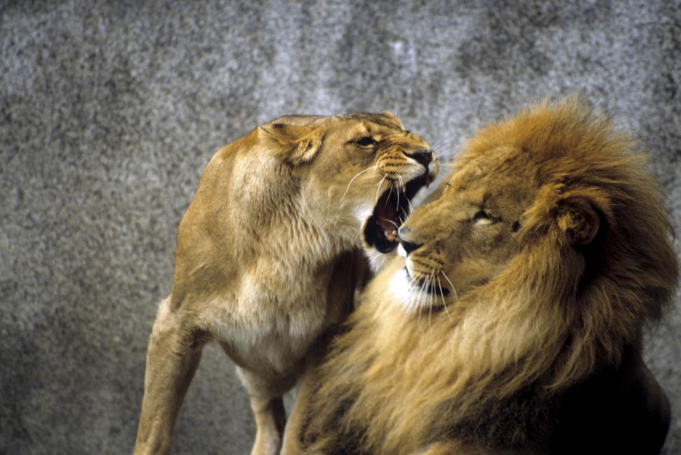 Download Free Stock Photo of Aggressive lioness with male lion
