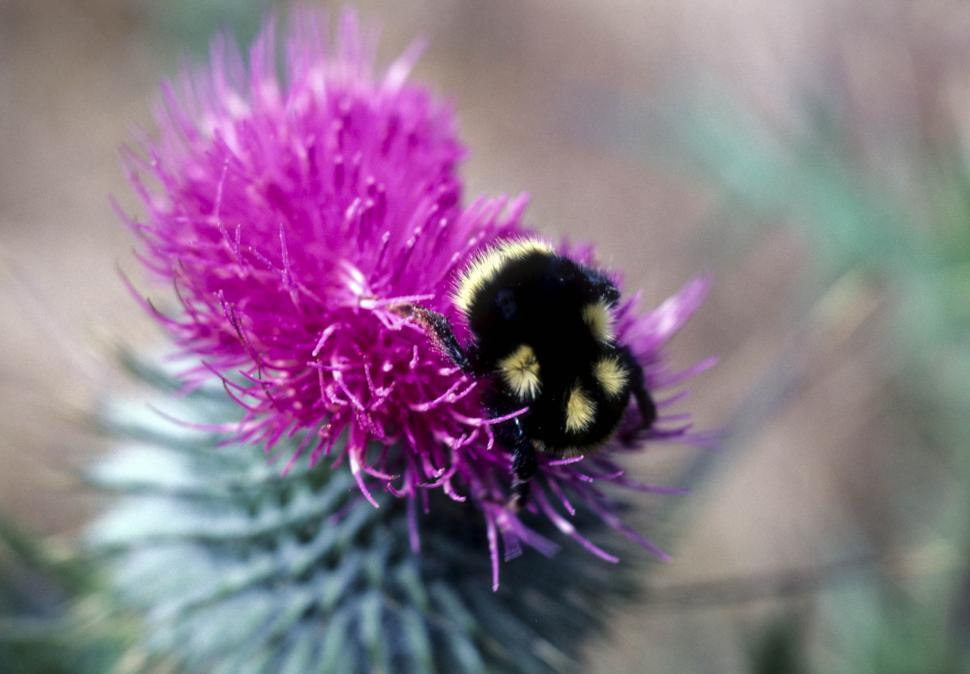 Download Free Stock HD Photo of bee in thistle flower Online