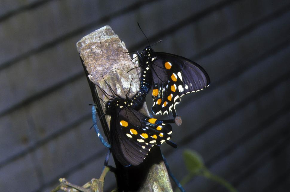 Download Free Stock Photo of Two Butterflies