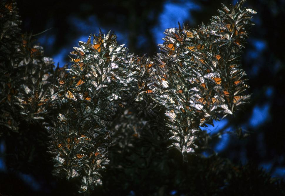 Download Free Stock Photo of many monarch butterflies