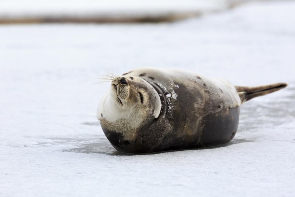Download Free Stock Photo of Big Harp Seal
