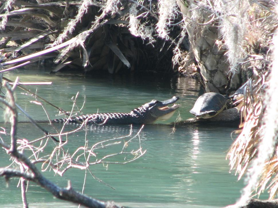 Download Free Stock HD Photo of Alligator & Turtle Online