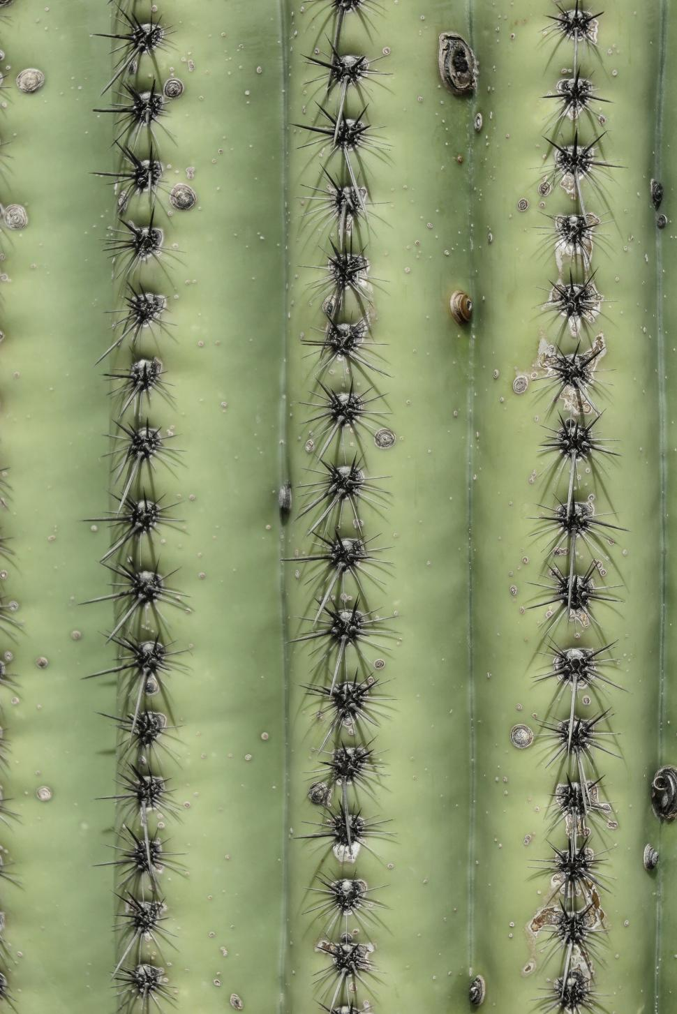 Download Free Stock HD Photo of Ribs of a saguaro cactus Online