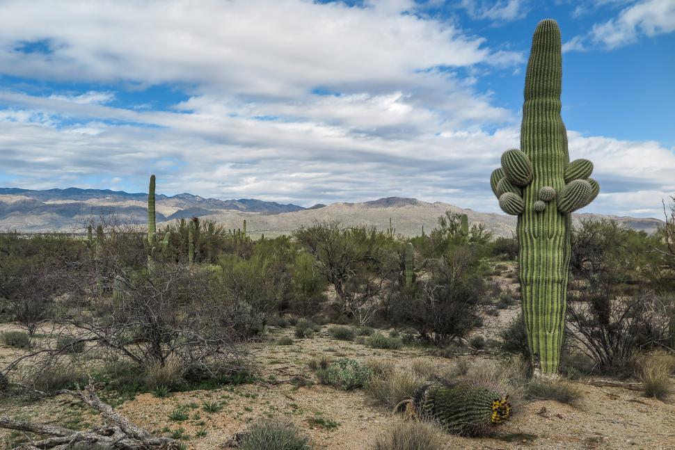 Download Free Stock Photo of Large cactus, Tucson, Arizona