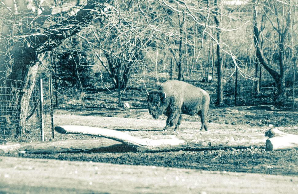 Download Free Stock Photo of Grainy Vintage Bison