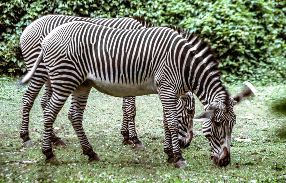 Download Free Stock Photo of Two Zebras