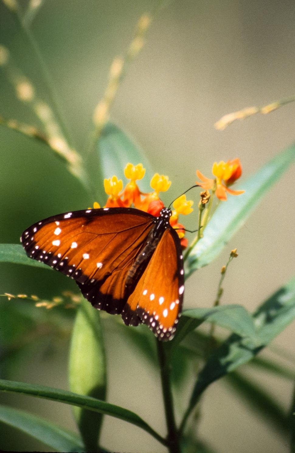Download Free Stock Photo of Queen butterfly