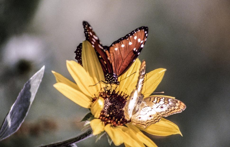 Download Free Stock Photo of Two butterflies on a flower