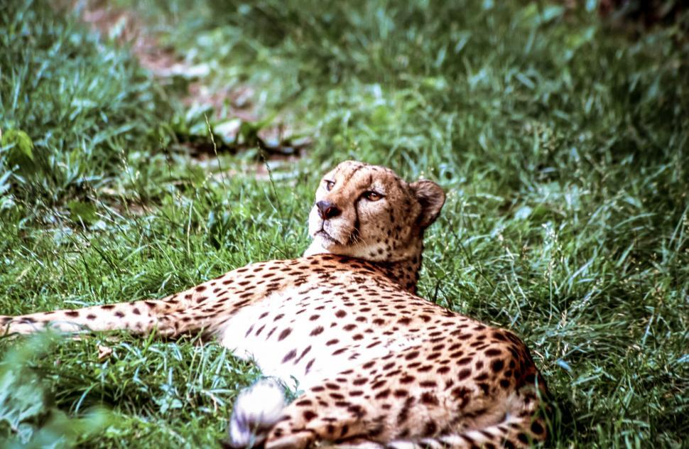 Download Free Stock Photo of Cheetah in the Grass