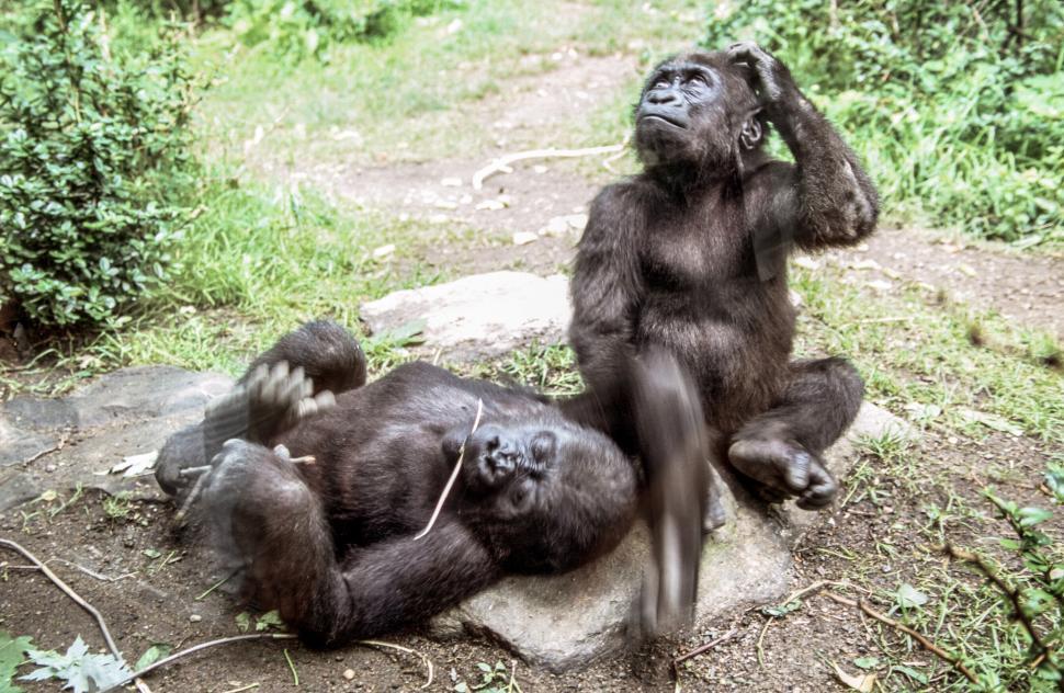 Download Free Stock Photo of Two Chimpanzees