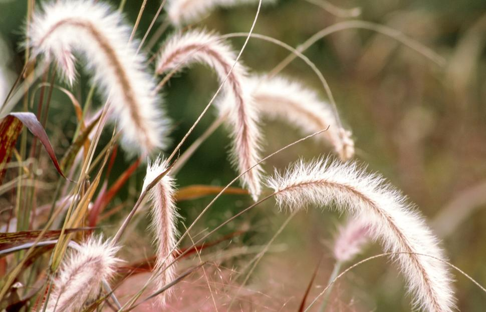 Download Free Stock HD Photo of White Fountain grass Online