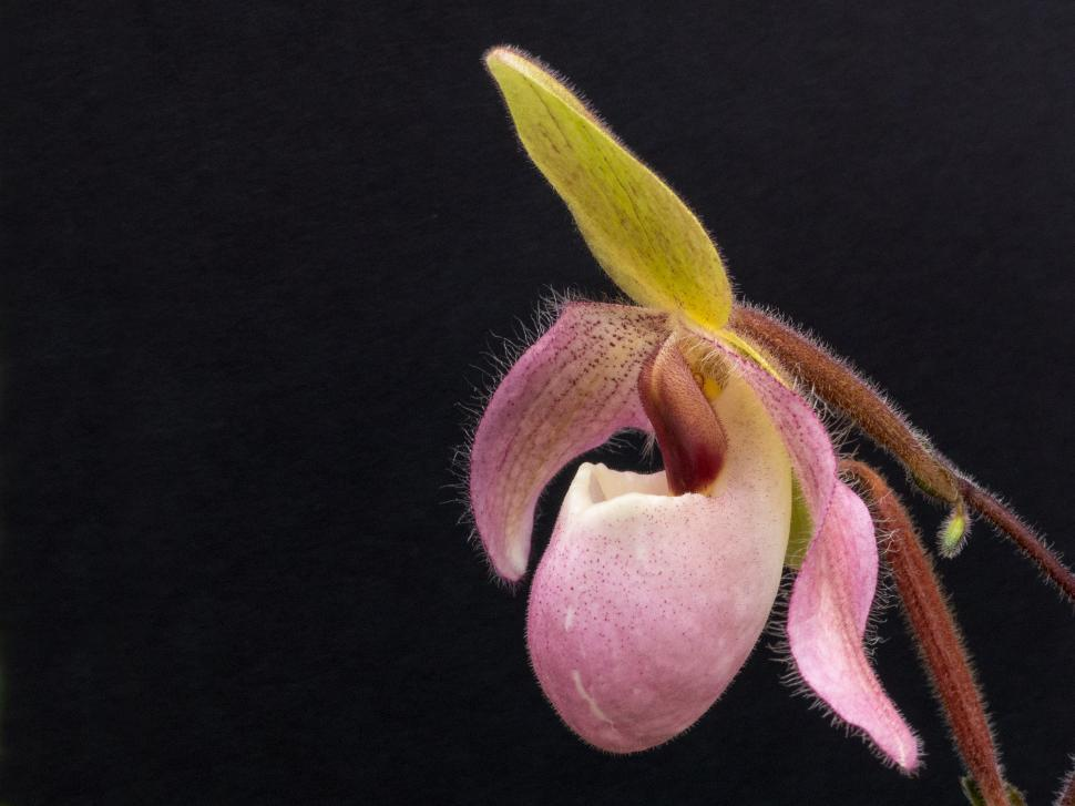 Download Free Stock HD Photo of Pink Lady Slipper Orchid Flower on Black Online