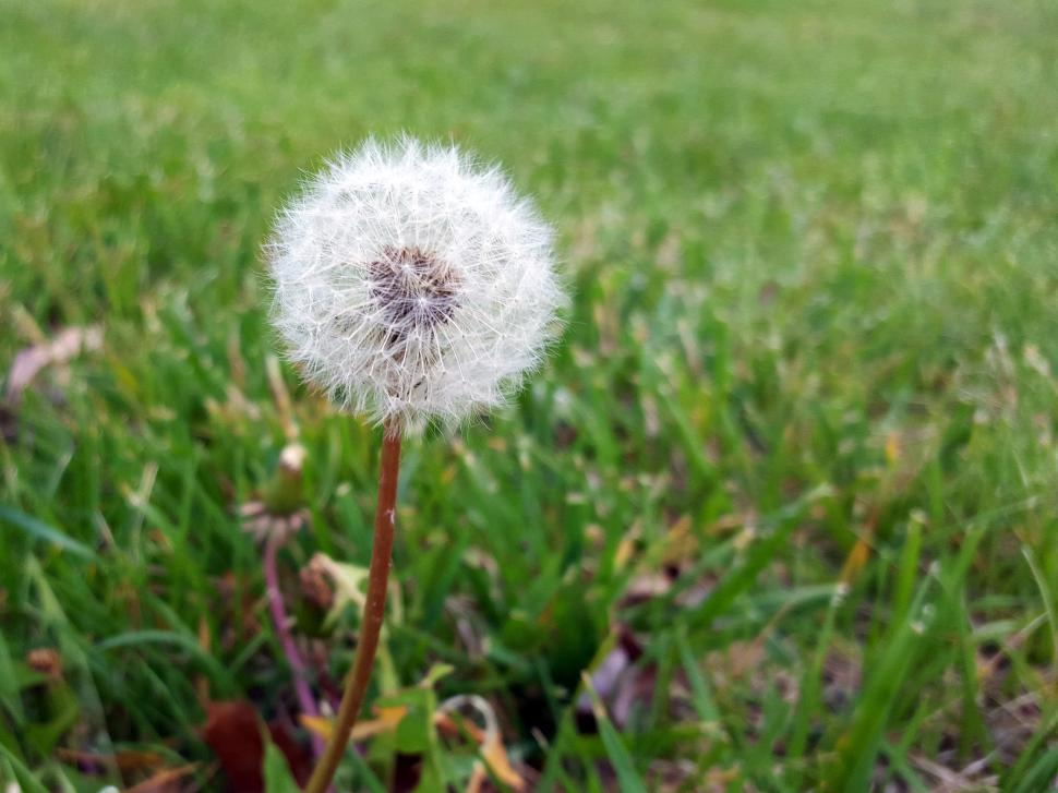 Download Free Stock Photo of Dandelion Seed Ball
