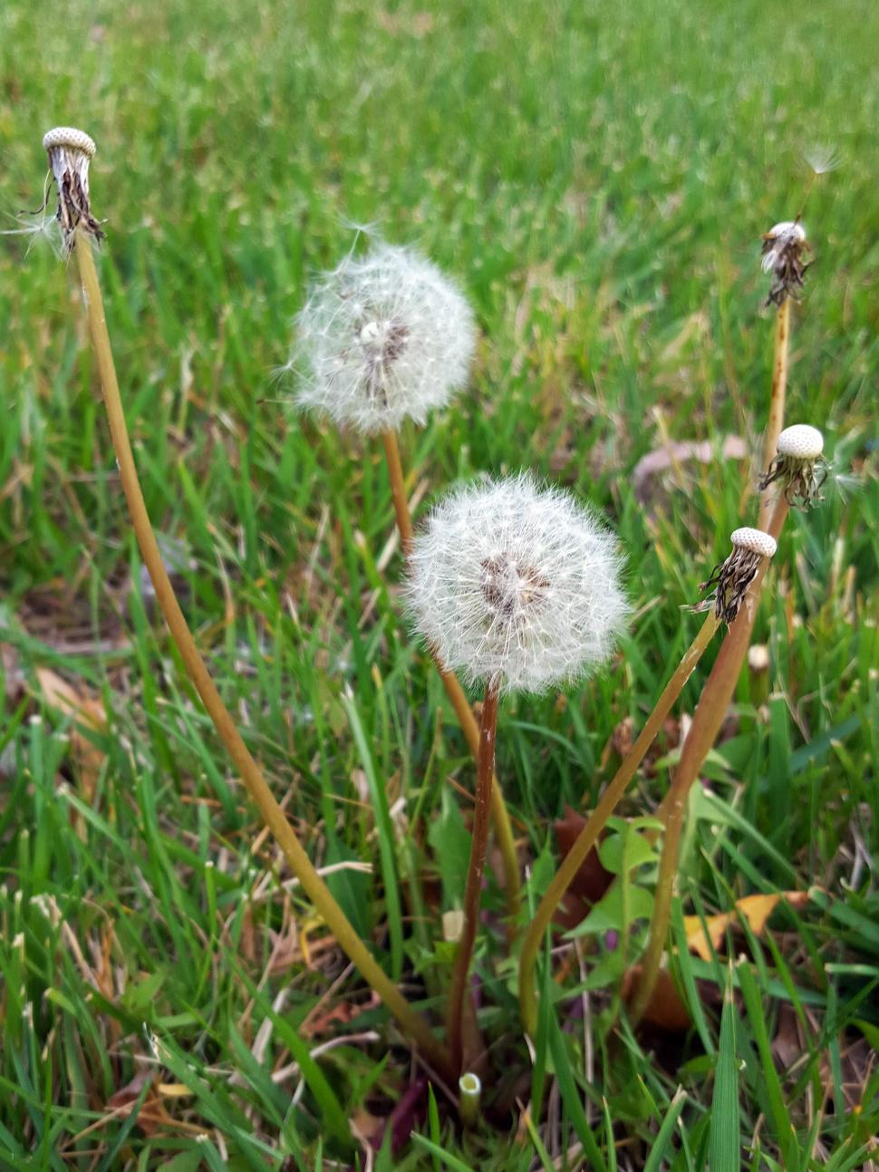 Download Free Stock HD Photo of Dandelion Seed Balls Online