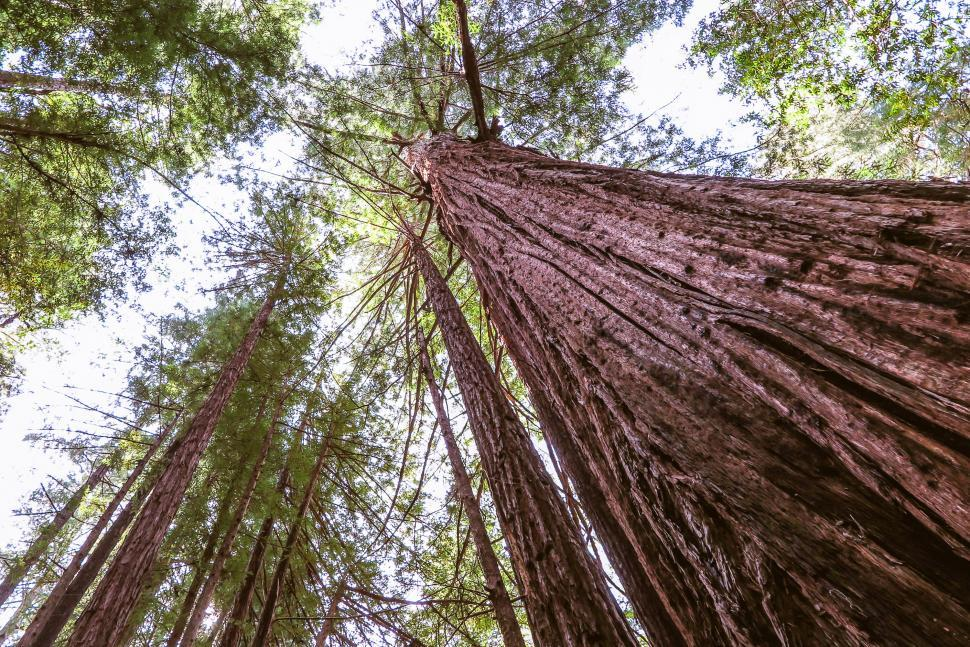 Download Free Stock Photo of Tall redwoods