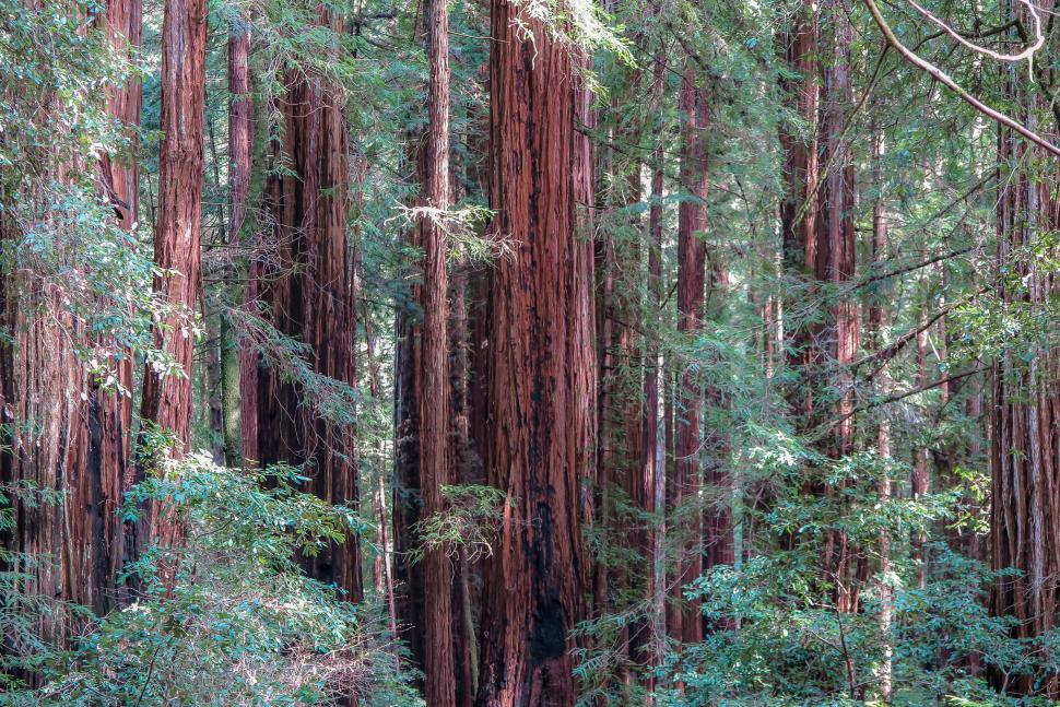Download Free Stock HD Photo of Redwood forest Online