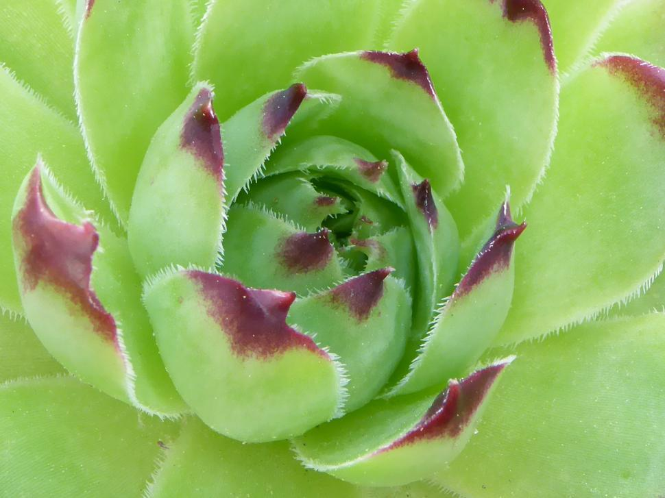 Download Free Stock Photo of Succulent Plant Hens and Chicks