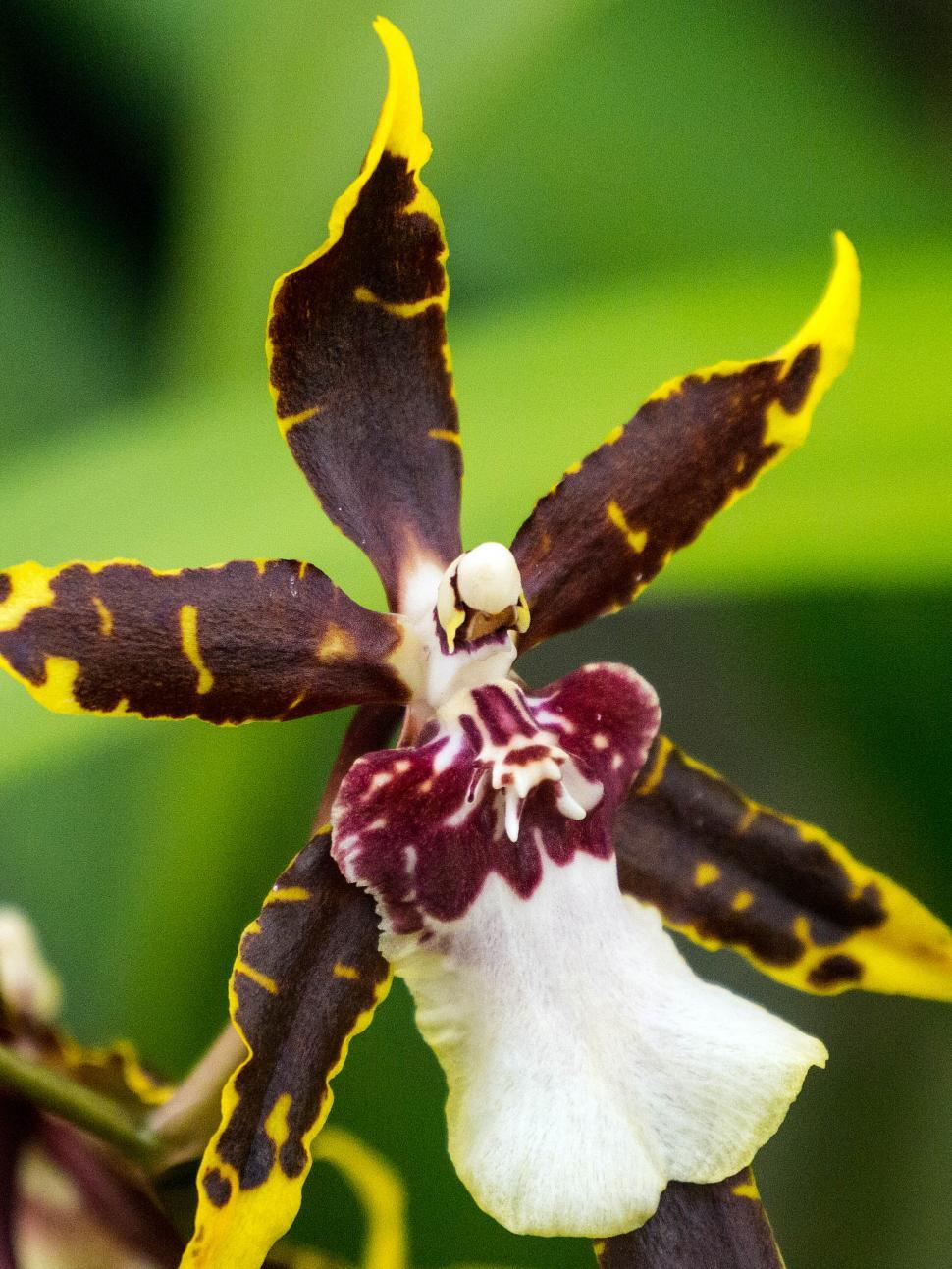 Download Free Stock HD Photo of Yellow and Brown Spider Orchid Flower Macro Online