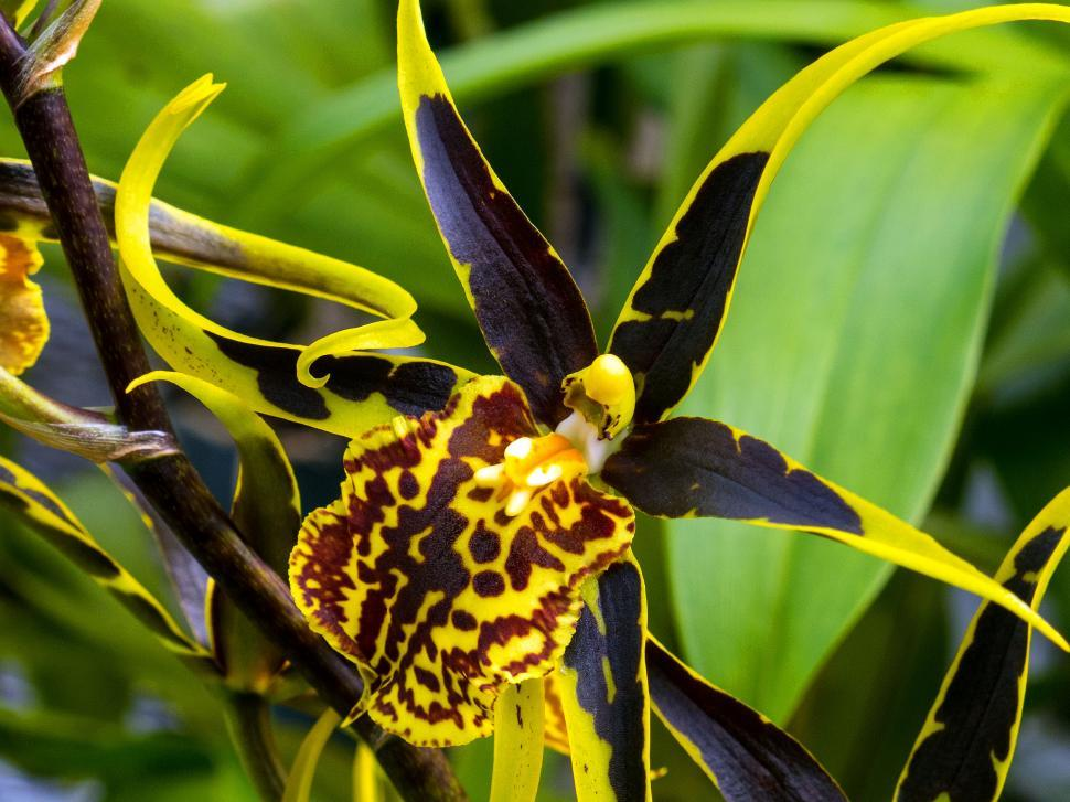 Download Free Stock Photo of Yellow and Brown Spider Orchid Flower Closeup