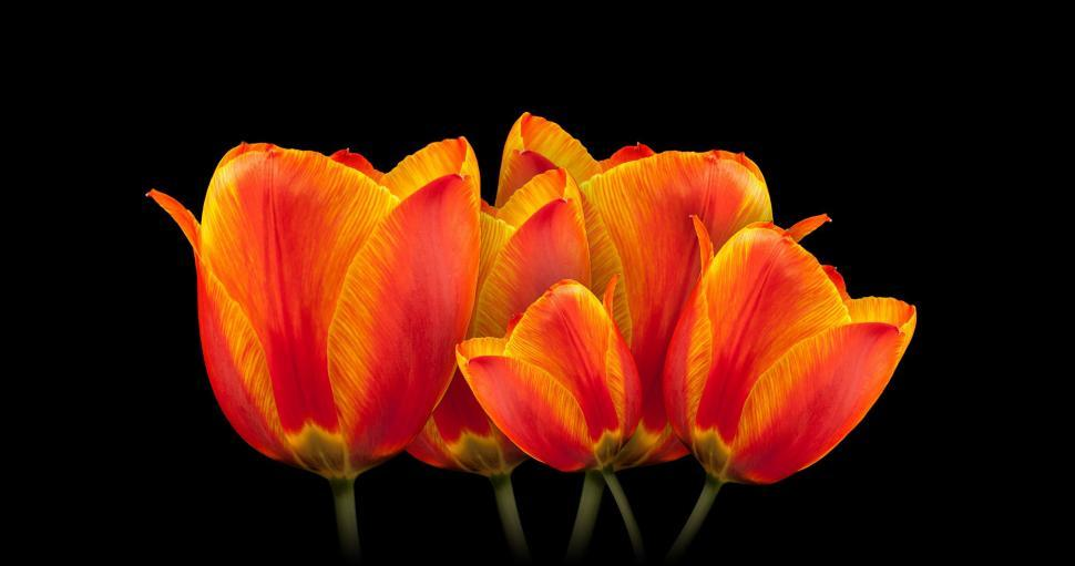 Download Free Stock Photo of composite manipulation photo manipulation tulip flower spring orange tulips plant flowers blossom floral garden petal flora bloom ornamental field leaf color stem blooming bouquet season colorful yellow pink dutch summer bright