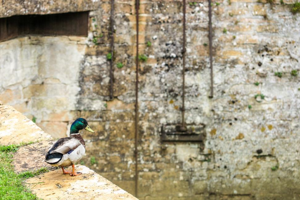 Download Free Stock HD Photo of Duck on a wall Online
