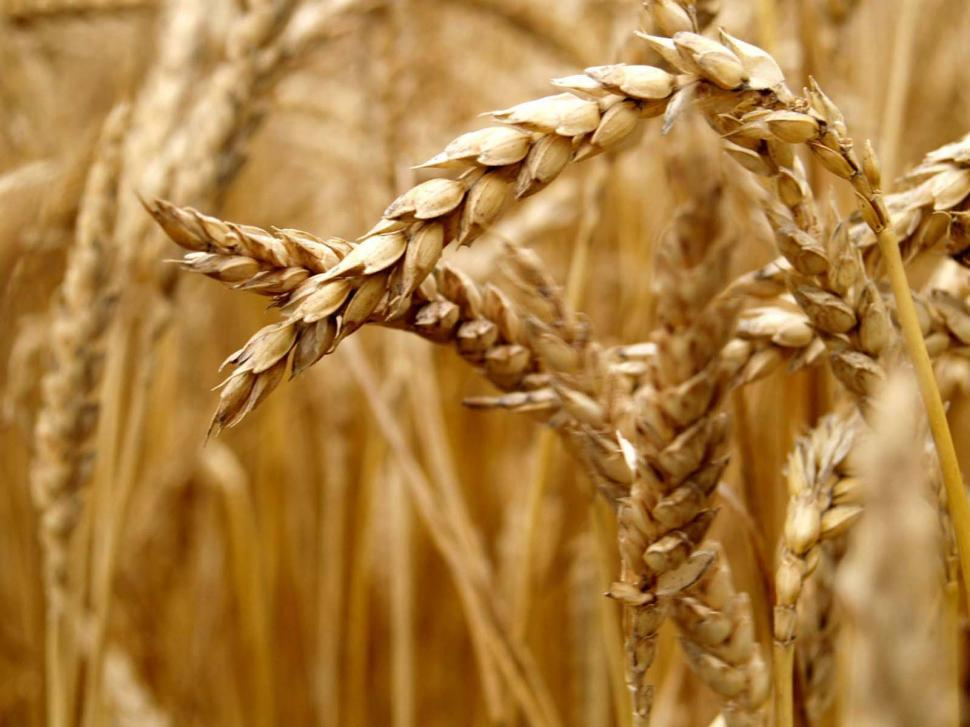 Download Free Stock HD Photo of Wheat Online