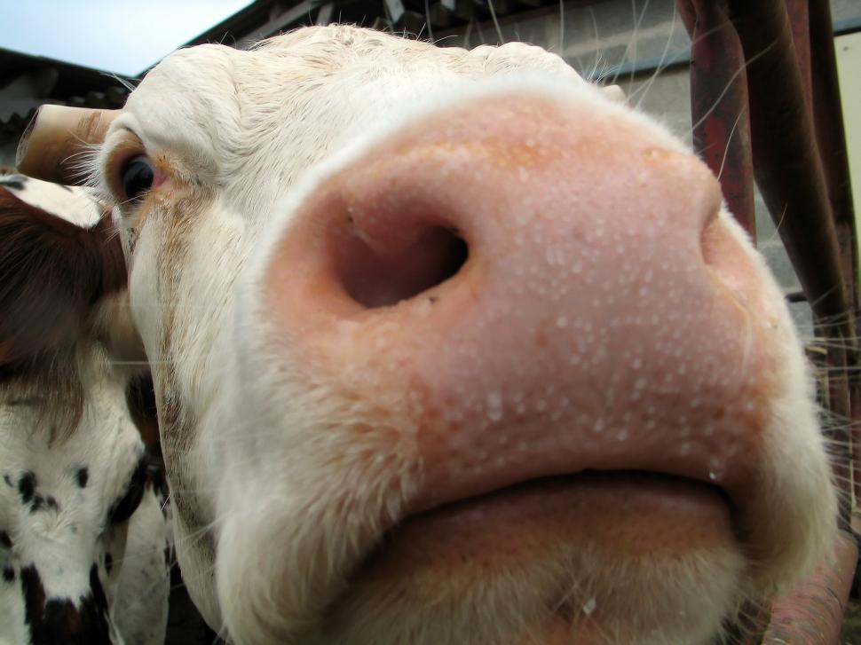 Download Free Stock Photo of cow,  snout,  farm,  ungulate,  livestock,  animal,  nose