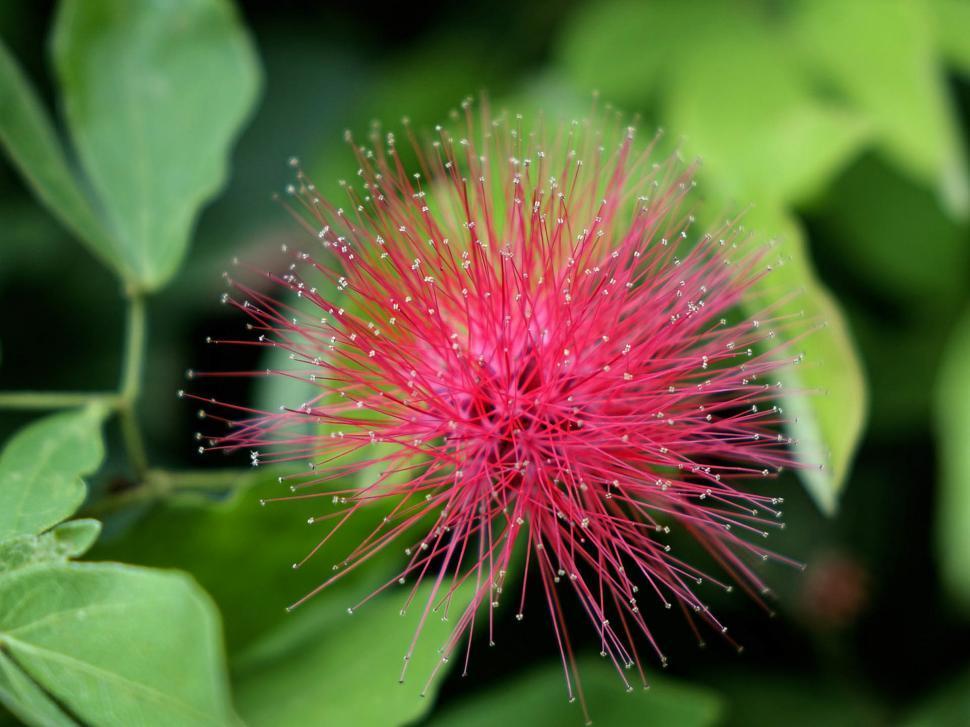 Download Free Stock HD Photo of Calliandra Haematocephala Online
