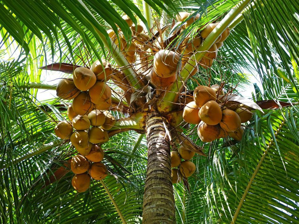 Download Free Stock Photo of Coconut Tree