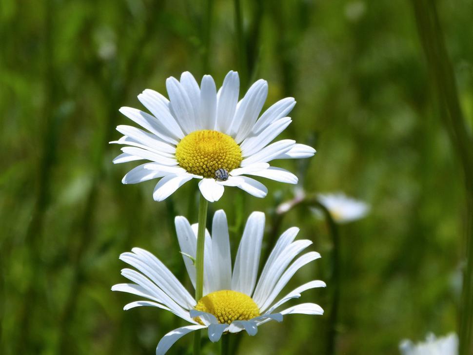 Download Free Stock Photo of Fresh Daisy