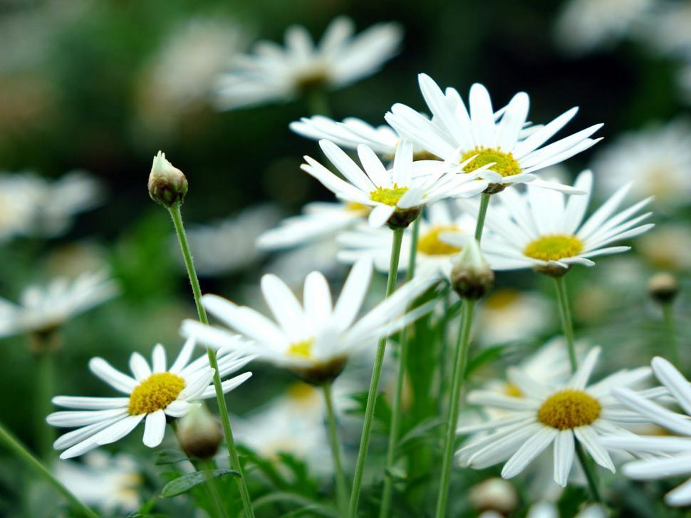 Download Free Stock Photo of Fresh Daisies in garden