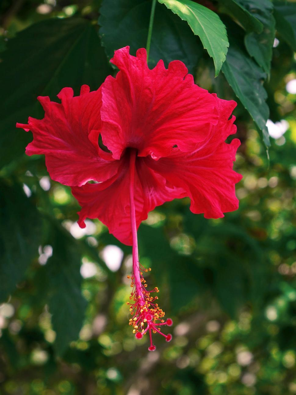 Download Free Stock Photo of Fresh Hibiscus