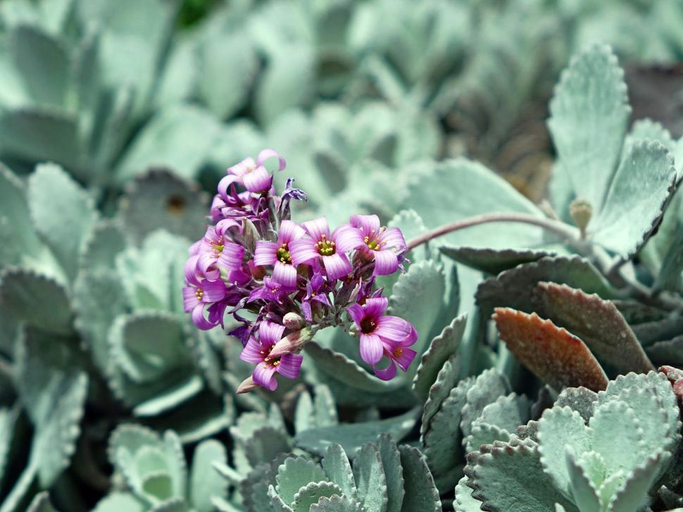 Download Free Stock HD Photo of Kalanchoe Pumila Online